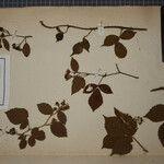Rubus glandulosus