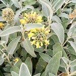 Phlomis fruticosa Lehti