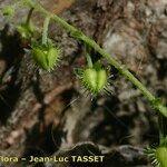 Hackelia deflexa