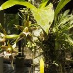 Galeottia grandiflora