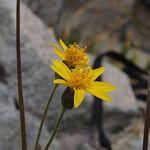 Arnica lanceolata