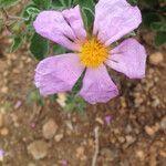 Cistus creticus 花