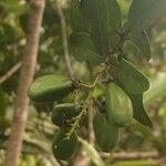 Grangeria borbonica