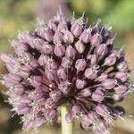 Allium commutatum x Allium porrum