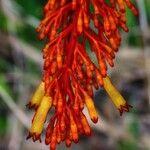 Palicourea triphylla