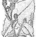 Hieracium compositum