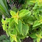 Plectranthus scutellarioides Blatt