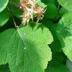 Rubus phoenicolasius