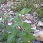 Solanum nigrum Pflanze