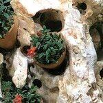 Dendrobium cuthbertsonii Hábito