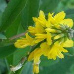 Trigonella altissima