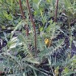 Filipendula vulgaris Hoja