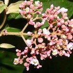 Eugenia hiraeifolia