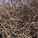 Euphorbia dendroides Leaf