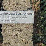 Lepidozamia peroffskyana