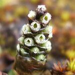 Myrosmodes paludosum