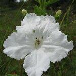 Escobedia grandiflora