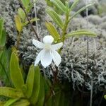 Angraecum ramosum