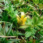 Ranunculus praemorsus