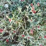Helichrysum monogynum