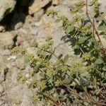 Paronychia suffruticosa