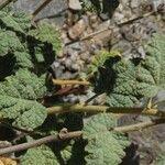 Sphaeralcea parvifolia