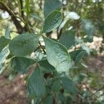 Searsia zeyheri Leaf