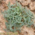 Centranthus battandieri