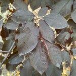 Prunus cerasifera Leht