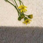 Senecio inaequidens 花