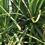 Eryngium pandanifolium