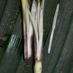 Heliconia umbrophila