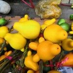 Solanum mammosum