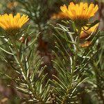Asteriscus pinifolius