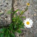 Leucanthemum atratum