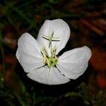 Oenothera tetraptera