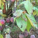 Prunus alleghaniensis