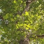 Quercus rubra Foglia