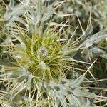 Cirsium dyris