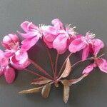 Malus floribunda 花