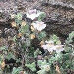 Chaenorhinum villosum