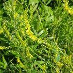 Melilotus officinalis Flower