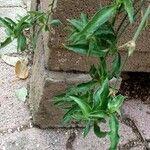 Chlorophytum spp.