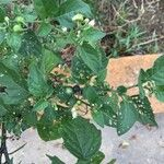 Solanum nigrum Levél