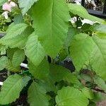 Ulmus americana Leaf