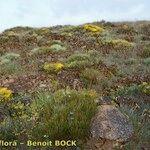 Biscutella sclerocarpa