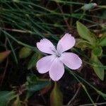 Dianthus godronianus