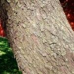 Prunus serotina 葉