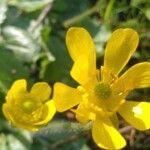 Ranunculus bullatus