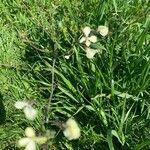 Raphanus raphanistrum Fleur